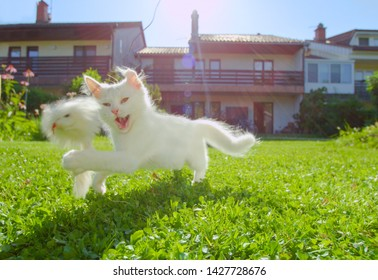 CLOSE UP, LENS FLARE: Cute white fluffy kitten runs across the sunlit backyard towards the fluffy toy mouse held by unrecognizable owner. Person teases the playful baby cat with a mouse on a string.