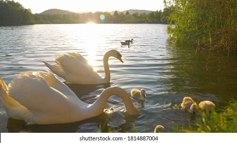CLOSE UP, LENS FLARE: Elegant cob and pen protect their adorable offspring feeding by the grassy lake shore at sunrise. Golden evening sunbeams shine on a swan family feeding in the lake at sunset.