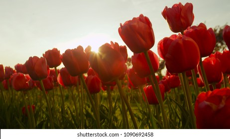 CLOSE UP: Lovely red tulips blooming on vast flowerbed at floricultural park