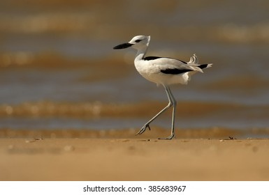 Close up, low angle photo of remarkable black and white wader bird  Dromas ardeola, Crab Plover walking on sand beach of Zanzibar island against blurred waves in background.