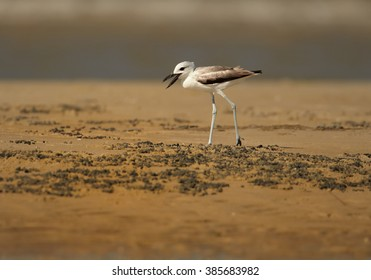 Close up, low angle photo of remarkable black and white wader bird  Dromas ardeola, Crab Plover walking on sand beach of Zanzibar island against blurred ocean in background.