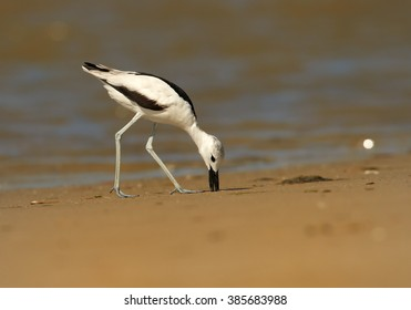 Close up, low angle photo of remarkable black and white wader bird  Dromas ardeola, Crab Plover looking for prey on sand beach of Zanzibar island during migratory winter season.