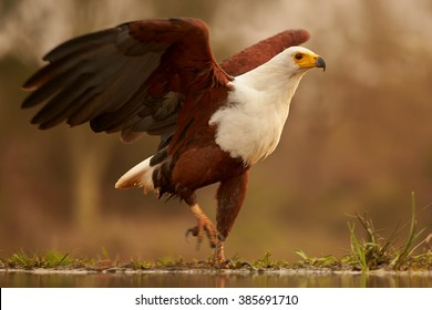 Close up, low angle photo of Haliaeetus vocifer, African fish eagle walking on the rim of riverbank with outstretched wings against blurred bush in background in warm afternoon light. KwaZulu Natal.