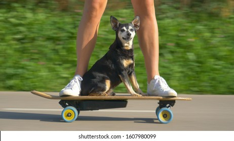 CLOSE UP, LOW ANGLE, PORTRAIT: Adorable senior dog sits on the electric skateboard and cruises through the sunlit park with its owner. Funny shot of a puppy riding an e-longboard with young woman.