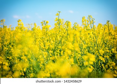 Close up, low angle view of a field of yellow, ripe rapeseed (Canola) flowers against blue sky on a bright sunny day. Shallow depth of field