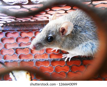 (Close Up) Mouse caught in a mousetrap