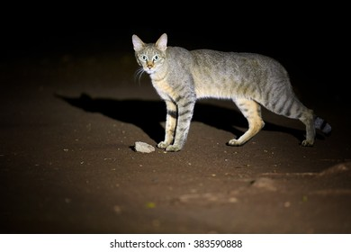 Close up, night picture of African wildcat, Felis silvestris lybica, tomcat staring directly at camera, lit by spotlight against black background. Side view. Kruger national park, South Africa.