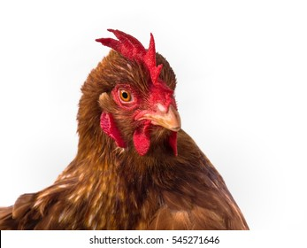 Close up: Portrait of Brown Chicken Isolated on White Background