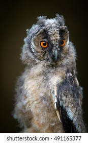Close up, portrait of juvenile Long-eared Owl, Asio otus, isolated on dark background, just after leaving the nest,intensive orange eyes staring at camera,juvenile plumage, wildlife, european forest.
