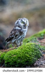 Close -up portrait of tiny brown owl with shining yellow eyes and a yellow beak in a beautiful natural environment. Boreal Owl known also as Tengmalm's Owl or Richardson's Owl, Aegolius funereus.