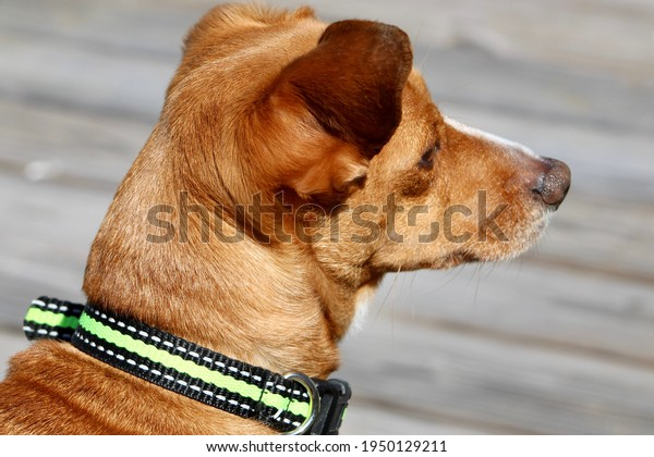 The close up, profile, head shot of a young chiweenie, a mix of Chihuahua and Dachshund dog breeds. He is wearing a black and green collar, has tan fur, and white markings down his snout.