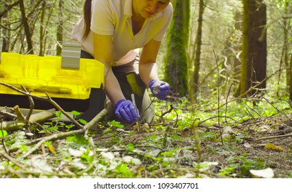 Close up. Scientist ecologist in the forest taking samples of the last year's needles with tweezers and putting them in a test-tube.