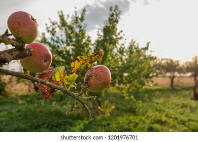 Close up, shallow focus of ripened apples seen on a branch of an apple tree in a fruit orchard. Seen adjacent to a distant arable field, the image taken during mid autumn near dusk.