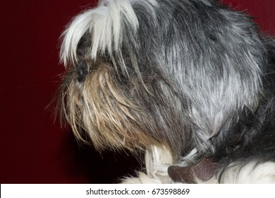 close up, side profile picture of a black and white shih tzu