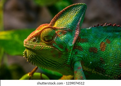 Close up, side view of green Veiled chameleon (Chamaeleo calyptratus) head.
