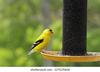 Close up, side view of a male American Goldfinch eating at a birdfeeder in the spring in Wisconsin