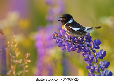 Close up, singing bird, Stonechat, Saxicola torquata  on a blue and purple flower, lupine in colorful  spring meadow lit by setting sun. Spring season  in czech highland, intensive color. Czechia.