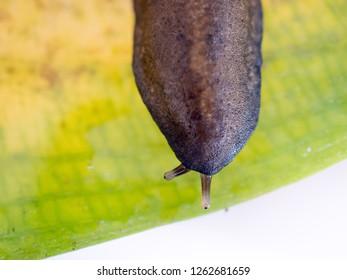 close up, slug slither on leaf in the garden.