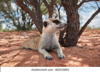 Close up, small carnivoran, Meerkat, Suricata suricatta, resting near to its burrow. Ground level,  ultrawide image. Wildlife photo of  suricate on red sand of Kalahari desert, Botswana.