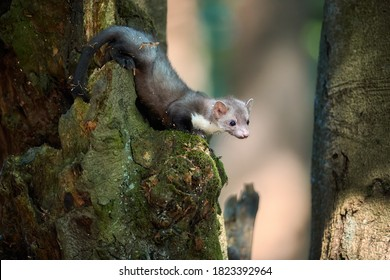 Close up, Stone Marten, Martes foina, juvenile tiny predator of spruce forest, climbing on old tree. Animal in captivity. Close up photo, blurred nature background. European forest, Czech republic.