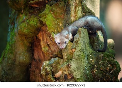 Close up, Stone Marten, Martes foina, juvenile tiny predator of spruce forest, climbing at old tree. Animal in captivity. Close up photo, blurred nature background. European forest, Czech republic.