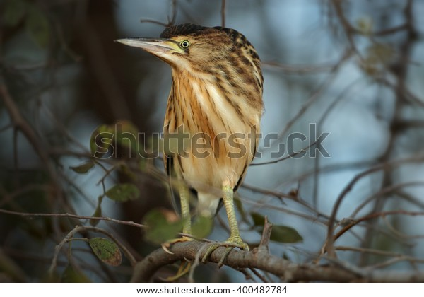 Close up, striped water bird, Little Bittern, Ixobrychus minutus perched on branch against blurred trees and blue sky. South Africa, iSimangaliso Wetland Park.