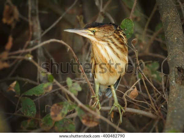 Close up, striped water bird, Little Bittern, Ixobrychus minutus perched on branch in dense bushes. South Africa, iSimangaliso Wetland Park.