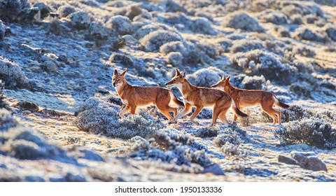 Close up, three highly endangered ethiopian wolves, canis simensis, runnning in sunrise on frozen Sanetti plateau, Bale mountains national park, Ethiopia.