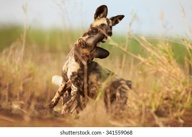 Close up, two African Wild Dog puppies playing in a grass. Ground level photo, african wildlife photography. Wild, African painted dogs puppies. KwaZulu Natal, South Africa.