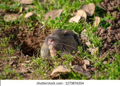 Close up. Valley pocket gopher (Thomomys bottae) emerging from the burrow surrounded by green grass and fallen leaves