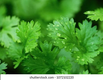 Close up, water drop on green coriander leaf, top view.