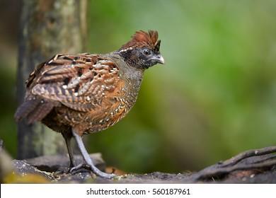 Close up, wild Black-fronted Wood-quail, Odontophorus atrifrons from Sierra Nevada de Santa Marta, Colombia.
