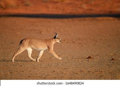 Close up, wild Caracal, side view on walking desert lynx in early morning typical desert environment against reddish dunes of Kgalagadi transfrontier park.  Traveling Kalahari, Botswana.