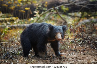 Close up, wild sloth bear, Melursus ursinus, in the forest of Wilpattu national park, Sri Lanka. Sloth bear staring directly at camera, wildlife photo.