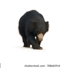 Close up, wild sloth bear, Melursus ursinus, isolated on white background, walking directly at camera. Wild animal, Ranthambore national park, India.