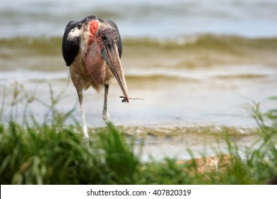 Close up, wildlife photo of large wading bird Marabou stork, Leptoptilos crumenifer with prey in its beak on the shore of Victoria lake against blurred waves in background. Uganda.
