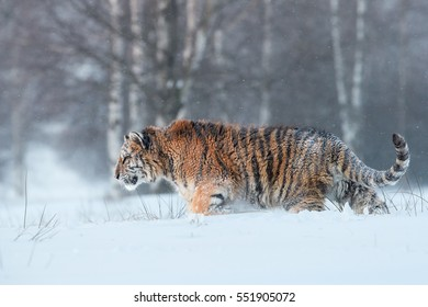 Close up, young Siberian tiger, Panthera tigris altaica, male in winter landscape, walking in deep snow against birch trees during snowstorm. Taiga environment, freezing cold, winter.