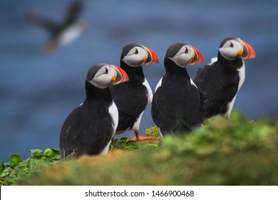 Close up/detailed portrait view of group of Arctic or Atlantic Puffins bird with orange beaks. Blue water color background. Latrabjarg cliff, Westfjords, Iceland. Popular tourist attraction in summer.