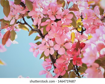 Close up/macro shot of crab apple blossoms in the spring.  Beautiful pink blossoms with a blurred/bokeh background.