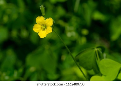 Close up of a Upright Yellow Woodsorrel flower. Also known as Common Yellow Oxalis, Common Yellow Woodsorrel, Lemon Clover, and Sourgrass. Todmorden Mills Park, Toronto, Ontario, Canada.