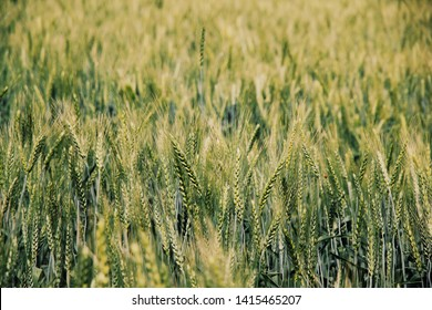 Close ups of heads of wild wheat on Mount of Beatitudes