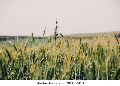 Close ups of wild wheat in the Galilee fields