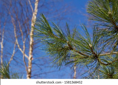 Close upward abstract view of a pine tree branch in winter with a bare birch tree and blue sky in the background