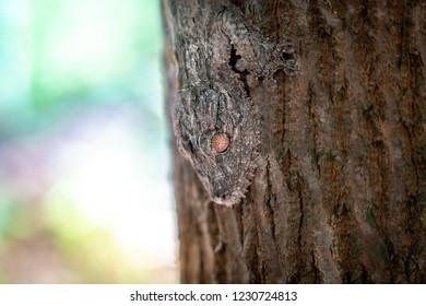 close up of a uroplatus phantasticus, the satanic leaf-tailed gecko endemic of Madagascar