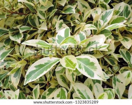 Close up of variegated