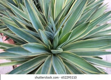 Close Up Variegated Yucca Desert Plant Succulent West Texas