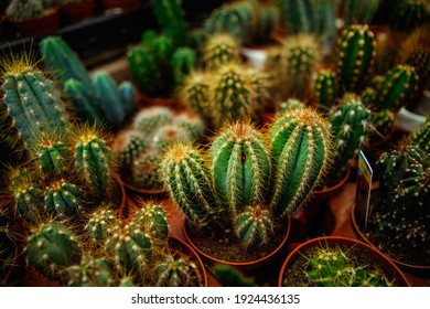 Close up of a variety of cacti in pots against the garden background