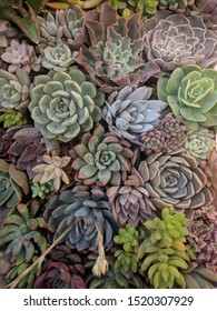 Close up of a variety of succulent that looks like petals