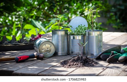 Close up of vegetable seedlings being potted in reuse tin cans outside on garden bench, in sunny garden background. Save money, recycle and reuse to reduce waste and grow your own food at home