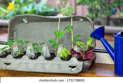 Close up of vegetable seedlings growing in reused egg box on window ledge. Recycle, reuse to reduce waste and grow your own food.
